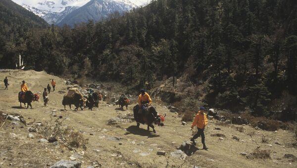 Передвижение на быках в восточных Гималаях